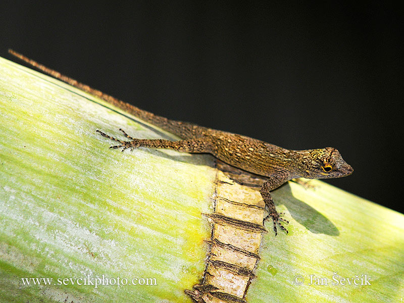 Photo of Anolis distichus Bark Anole
