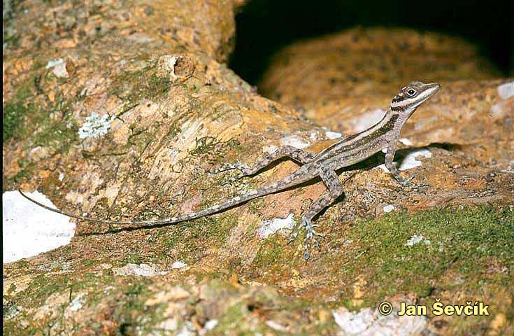 Photo of Anolis lucius, Coronel, Cuba.