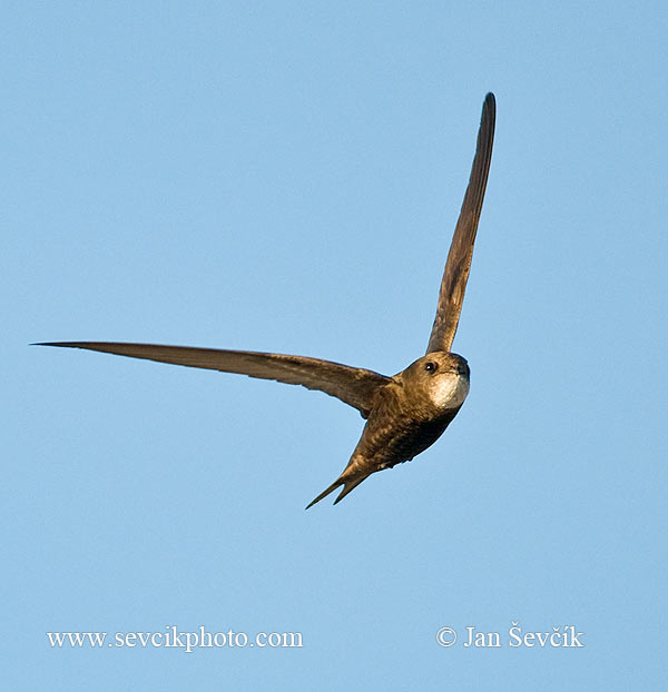 Photo of Rorýs šedohnědý Apus pallidus Pallid Swift Fahlsegler