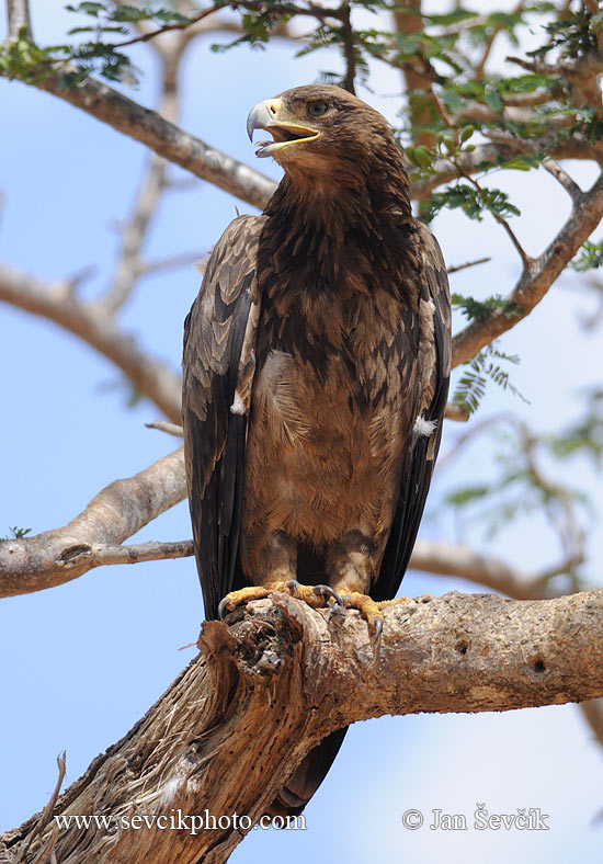 Photo of orel stepní Aquila rapax Tawny Eagle