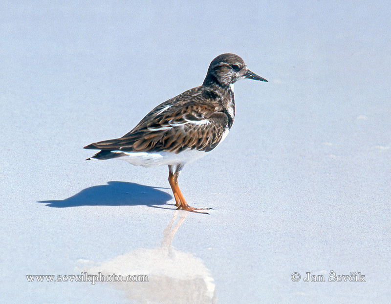 Photo of kamenáček pestrý Arenaria interpres Ruddy Turnstone Chorlete Comun