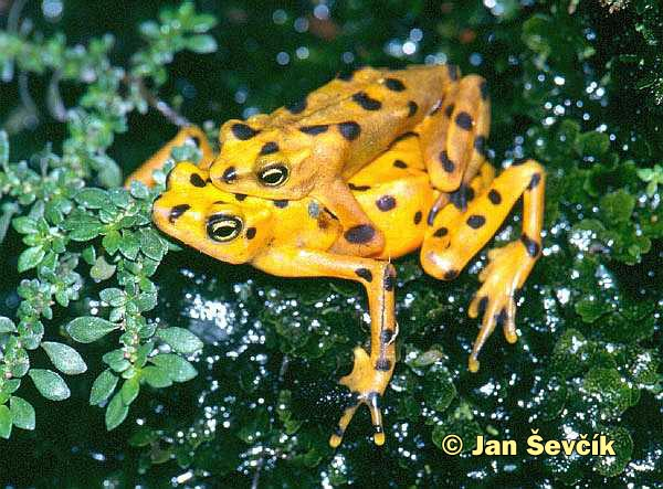 Photo of nosatka panamská, Panamanien Golden Frog, Panama-Stummelfussfrosch, Atelopus zeteki,.