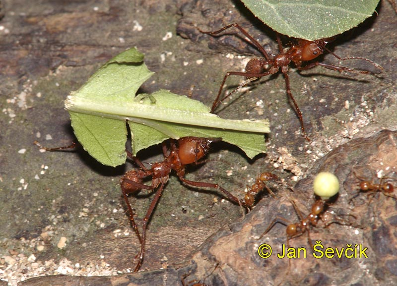 Photo of  mravenec  Atta, Leaf cutter Ant, Blattschneiderameise