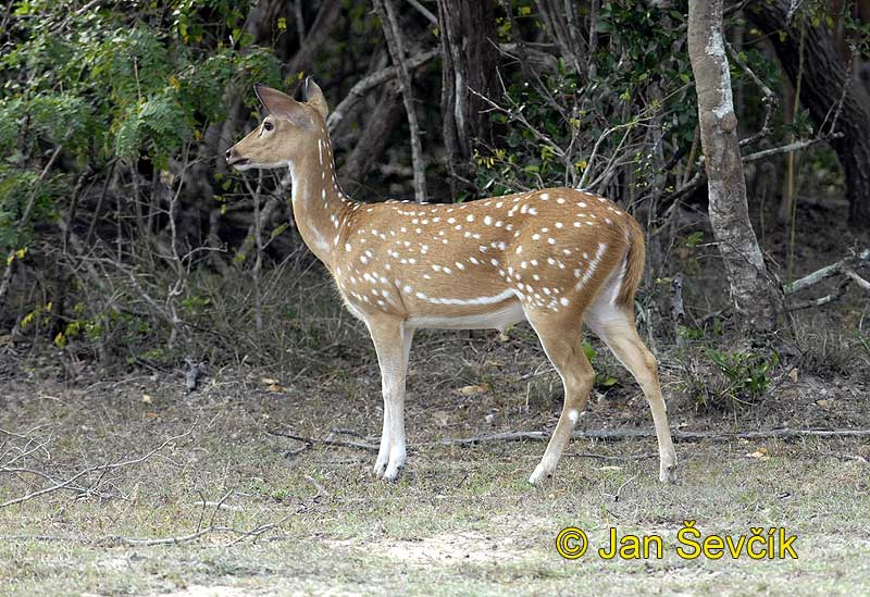 Pictur of axis indický, Axis axis, Spotted Deer, Axishirsche