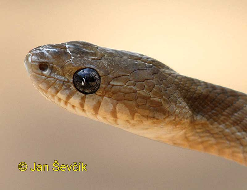 Photo of bojga Boiga forsteni Forstens Cat Snake