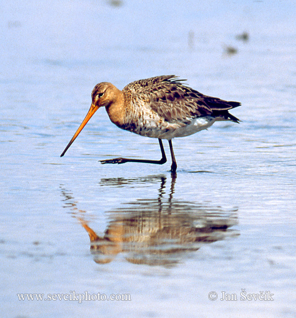 Photo of břehouš černoocasý Limosa limosa Black-tailed Godwit Kobbersneppe