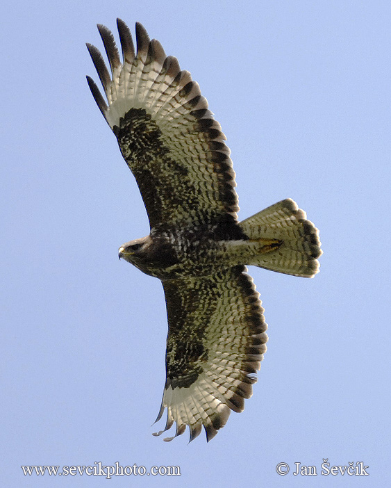 Photo of káně lesní Buteo buteo Common Buzzard Mausebussard