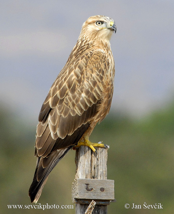 Photo of káně bělochvostá Buteo rufinus Long-legged Buzzard Adlerbussard