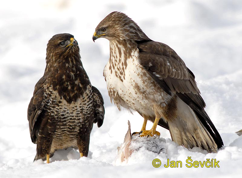 Photo of  Buteo buteo, Mäusebussard, Common Buzzard, káně lesní