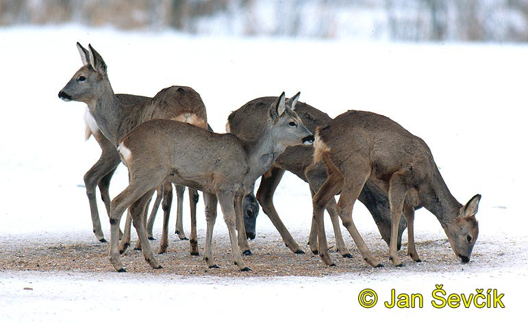 Photo of srnec, Capreolus capreolus, Roe Deer, Reh