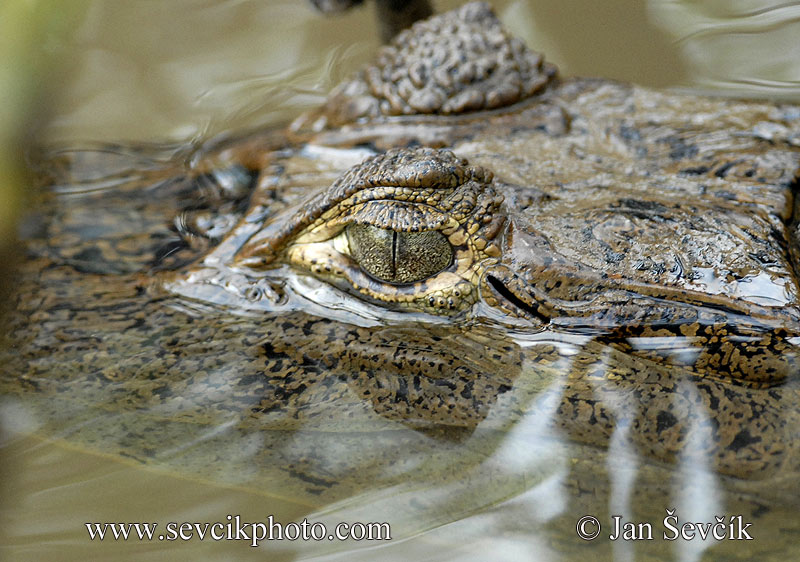 Photo of kajman brýlový Caiman crocodilus  Brillenkaiman Spectacled Caiman