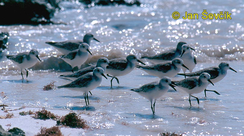 Photo of jespák aljašský, Calidris mauri, Western Sandpiper, Playero Occidental