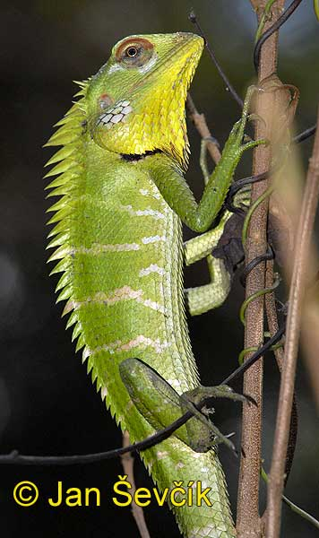 Photo of lepoještěr zelený, Calotes calotes, Green Forest Lizard