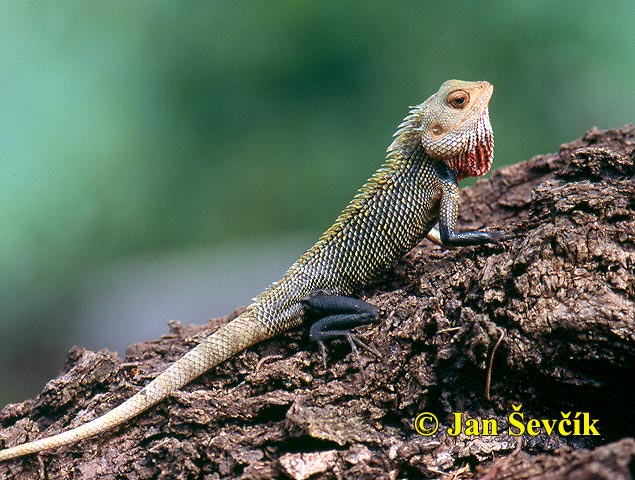 Photo of lepoještěr pestrý, Changeable Lizard, Blutsaugeragame, Calotes versicolor