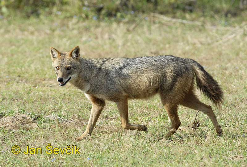 Photo of šakal obecný Canis aureus Golden Asiatic Jackal Goldschakal
