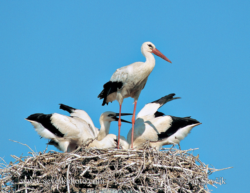 Photo of čáp bílý Ciconia ciconia White Stork Weisstorch