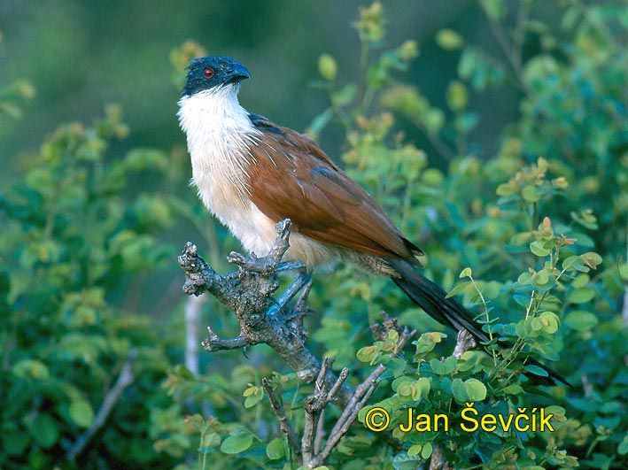 Photo of kukačka Centropus superciliosus burchelli, Burchell´s Coucal, Tiputip