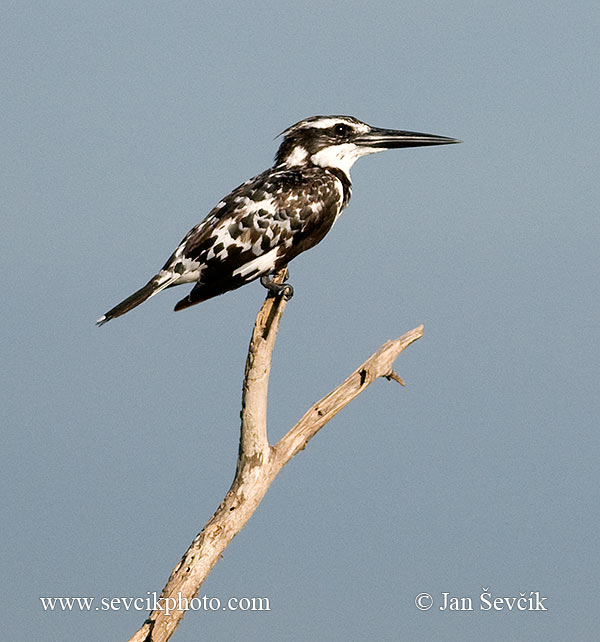Photo of rybařík jižní Ceryle rudis Pied Kingfisher Graufischer