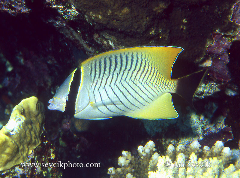 Photo of klipka krokvová Chaetodon trifascialis Butterflyfish