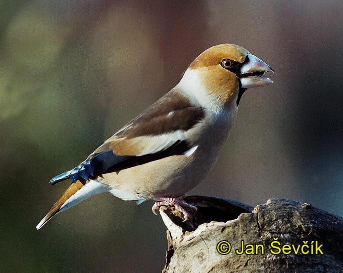 Photo of dlask tlustozobý, Coccothraustes coccothraustes, Hawfinch, Kernbeisser