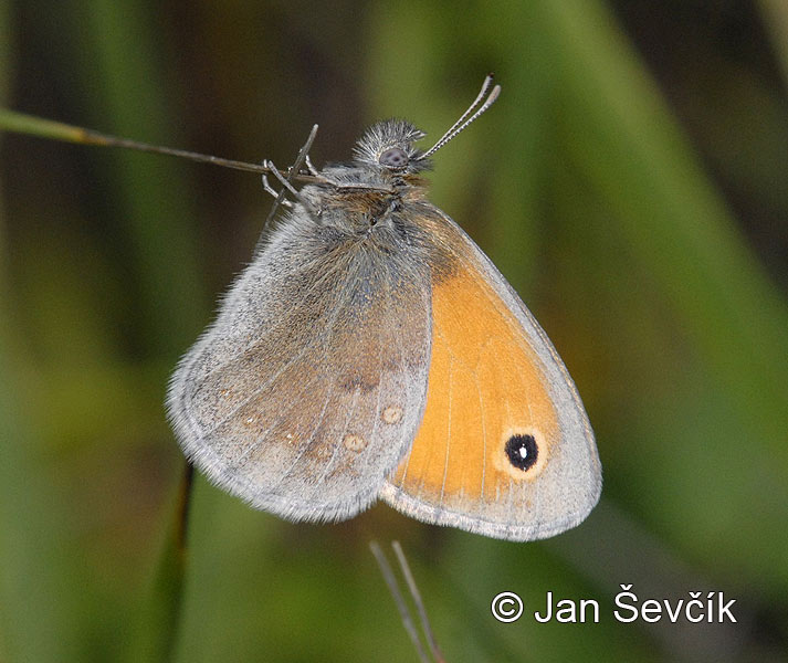 Photo of okáč poháňkový Coenonympha pamphilus Small Heath Klaines Wiesenvogelchen