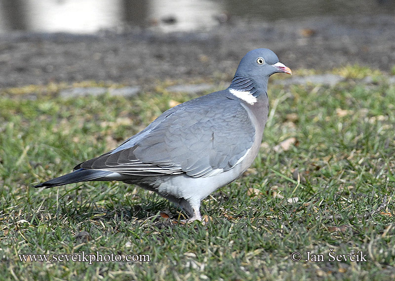 Photo of holub hřivnáč Columba palumbus Woodpigeon Ringeltaube