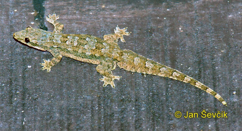 Photo of gekon Hemidactylus platyurus, Flat tailed House Gecko, Hausgecko
