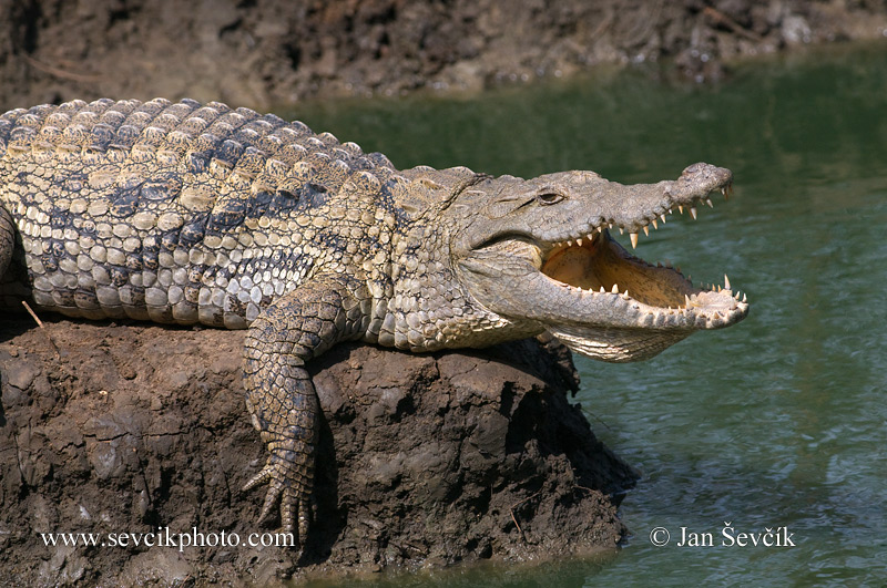 Photo of krokodýl nilský Crocodylus niloticus Nile Crocodile Nilekrokodil