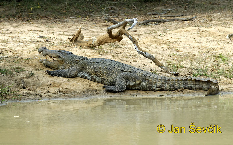 Photo of krokodýl bahenní Crocodylus palustris Marsh crocodile Sumpfkrokodil