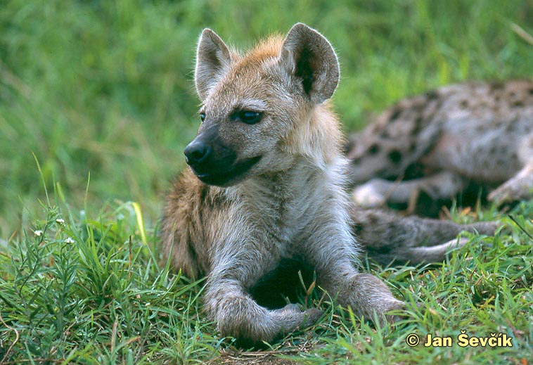 Photo of hyena skvrnitá, Gefleckte Hyana, Spotted Hyaena, Crocuta crocuta