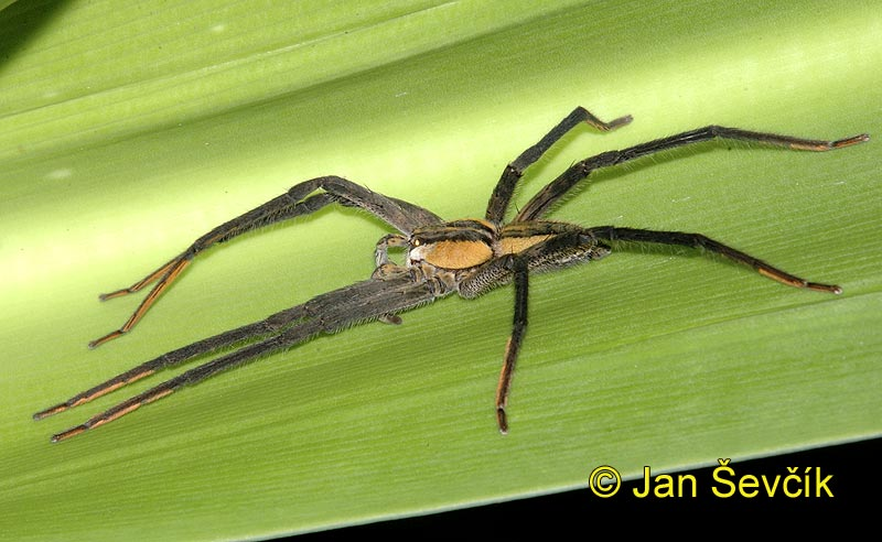 Photo of pavouk Cupiennius getazi Spider