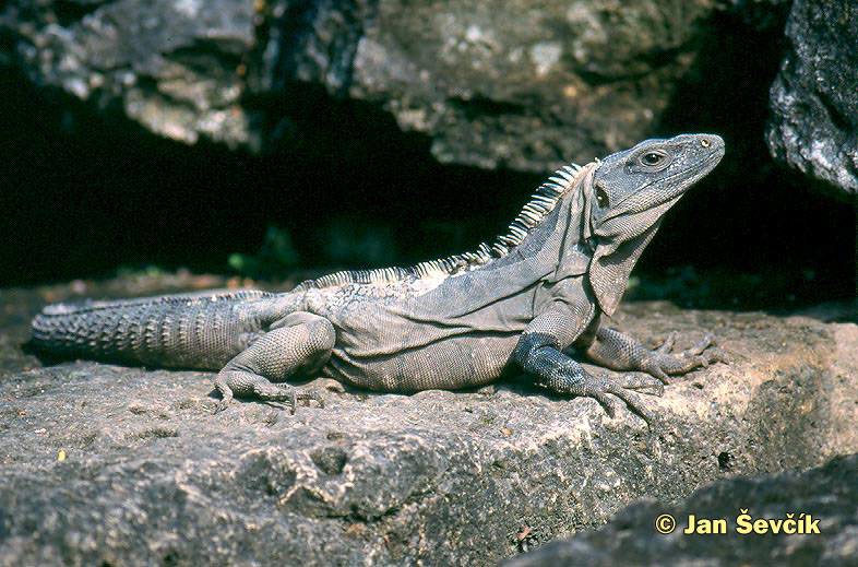 Photo of leguán černý, Black Iguana,  Schwarzer Leguan, Ctenosaura similis.