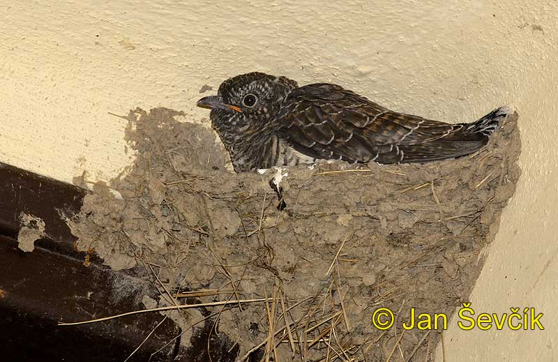 Photo of kukačka obecná Cuculus canorus Cuckoo Kuckkuck