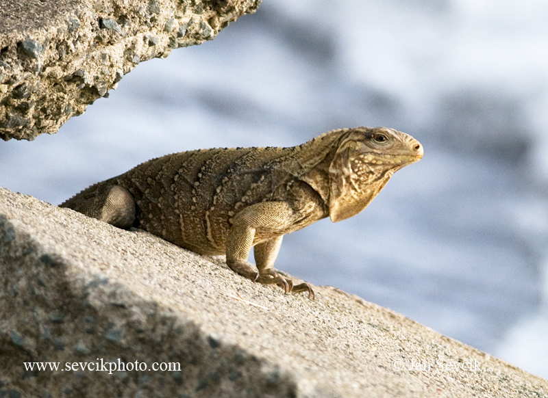 Photo of leguán kubánský Cyclura nubila Cuban Rock Iguana