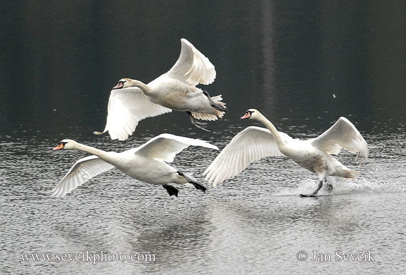Photo of labuť velká Cygnus olor Mute Swan Hockerschwan