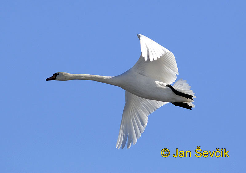 Photo of labuť velká, Cygnus olor, Mute Swan, Hockerschwan