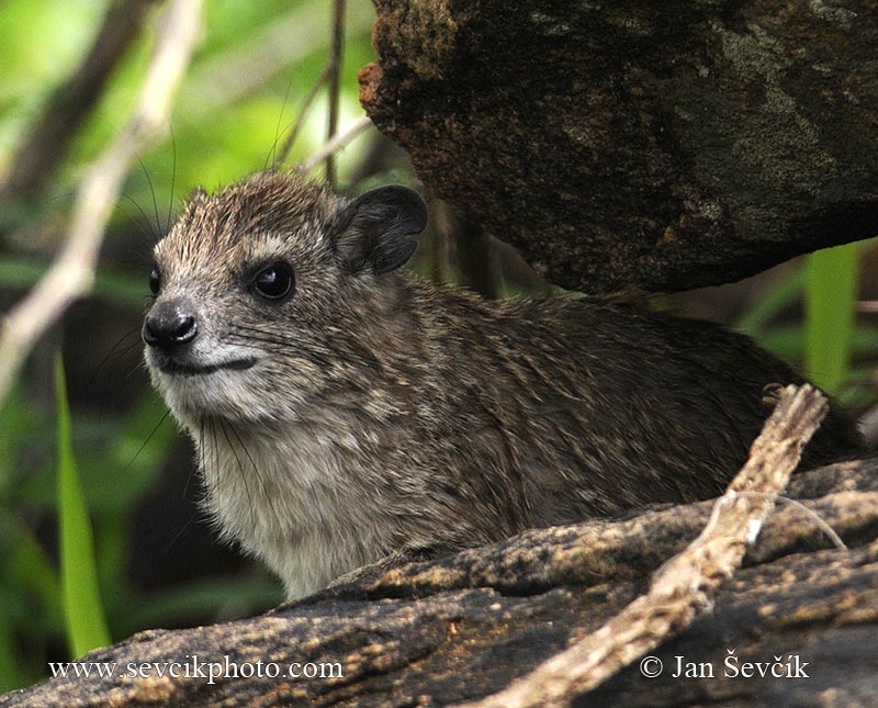 Photo of daman stepní Heterohyrax brucei Bush Hyrax Buschschliefer