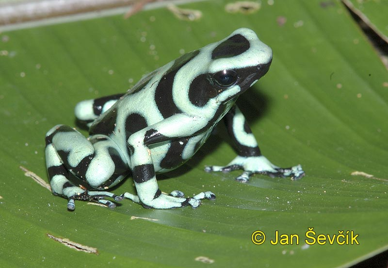 Photo of pralesnička Dendrobates auratus Black and Green Dart Frog Ranita venenosa verdinegra