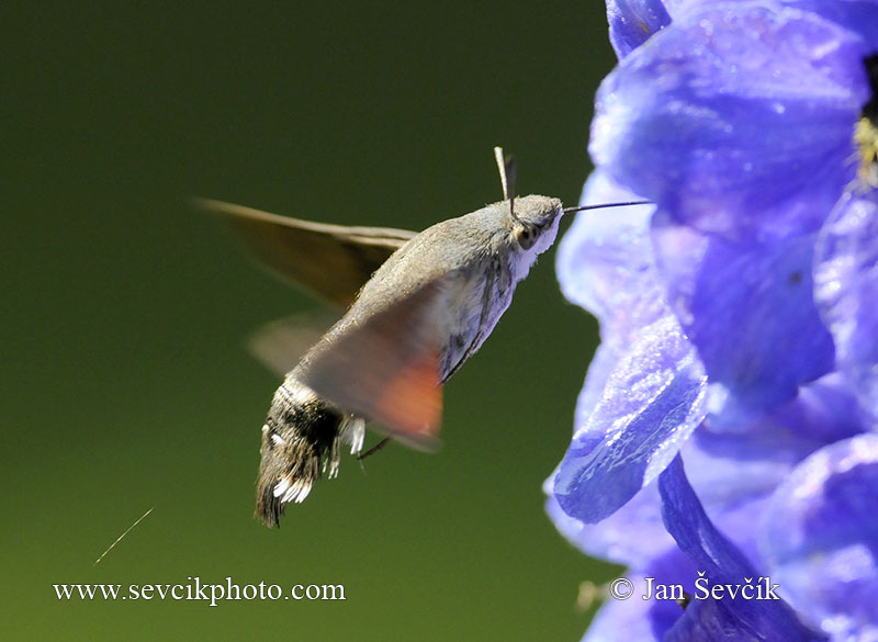 Photo of dlouhozobka svízelová Macroglossum stellatarum Humming-bird Hawk-moth Taubenschwänzchen
