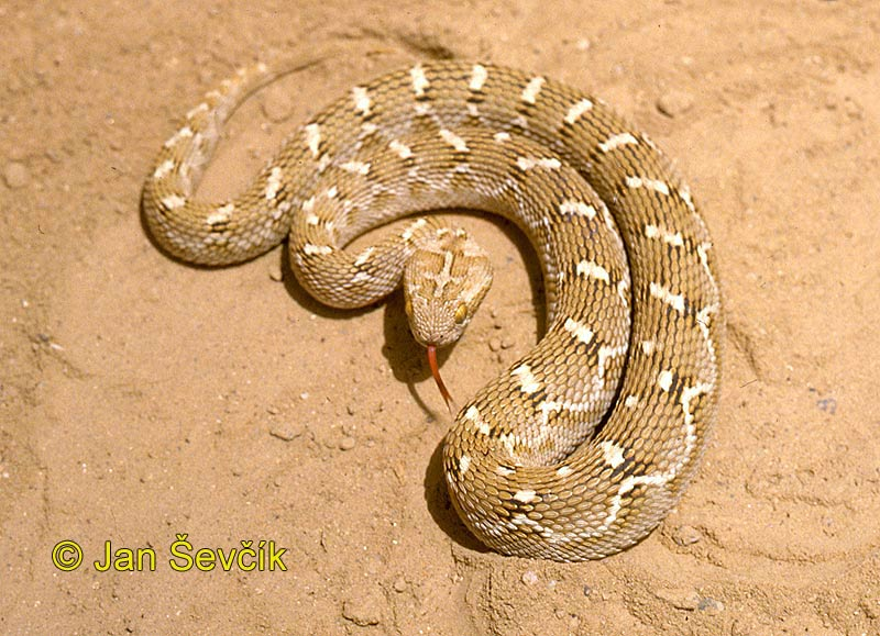 Photo of  zmije paví  Echis carinatus Efa Sandrasselotter Saw-scaled viper