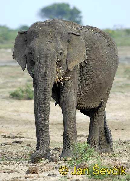 Photo of slon indický, Elephas maximus, Asian Elephant, Asiatische Elefant