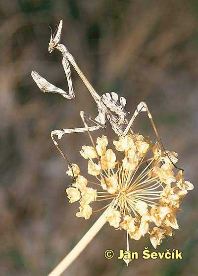 Photo of kudlanka, Empusa Mantid,  Empusa pennata