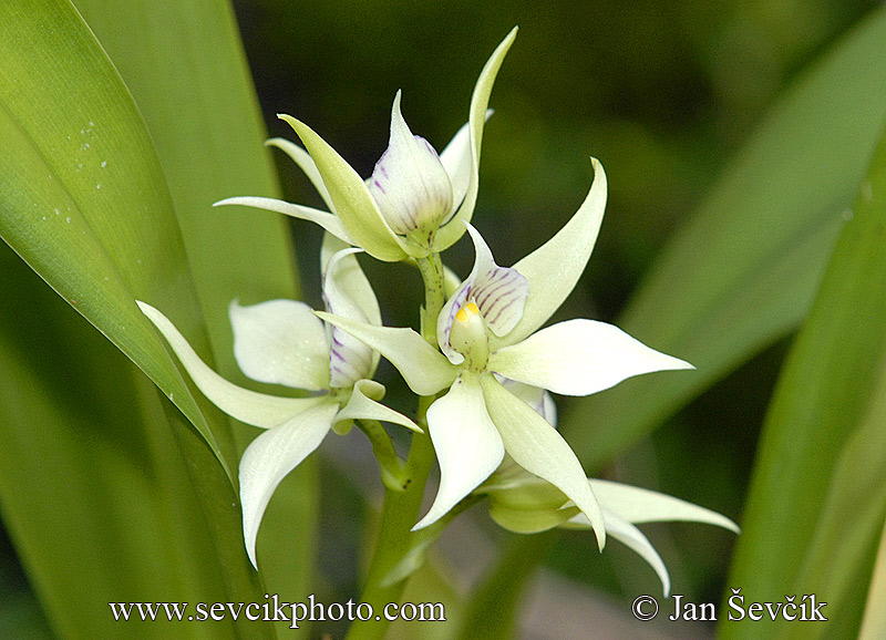 Photo of orchidej Encyclia fragrans Orchid Orchidee