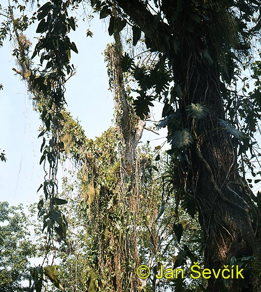Photo of epiphyte Cuba