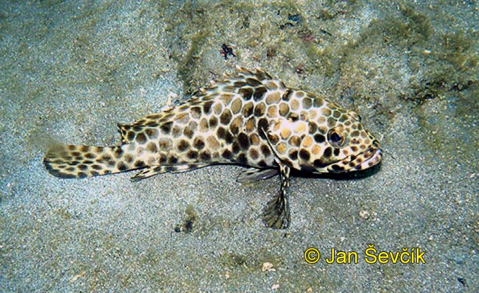 Photo of kanic Epinephelus bilobatus