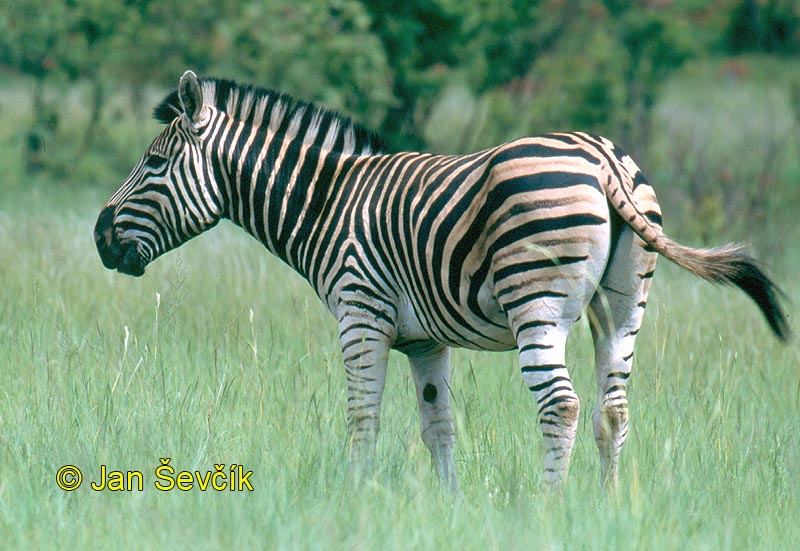 Photo of zebra stepní, Steppenzebra, Burchells Zebra, Equus  quagga burchellii