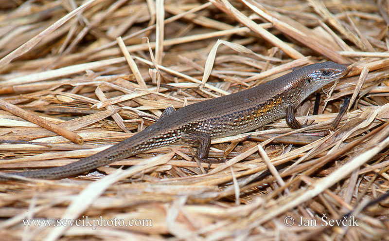 Photo of scink Eutropis multifasciata East Indian Brown Mabuya Vielstreifenskink