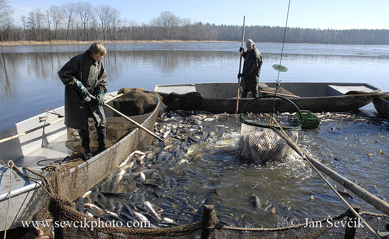 Photo of výlov rybníka fish harvest Abfischen Třeboňsko Czech Republic
