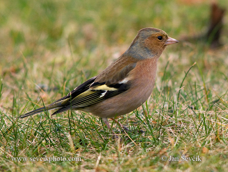 Photo of pěnkava obecná Fringilla coelebs Chaffinch Buchfink