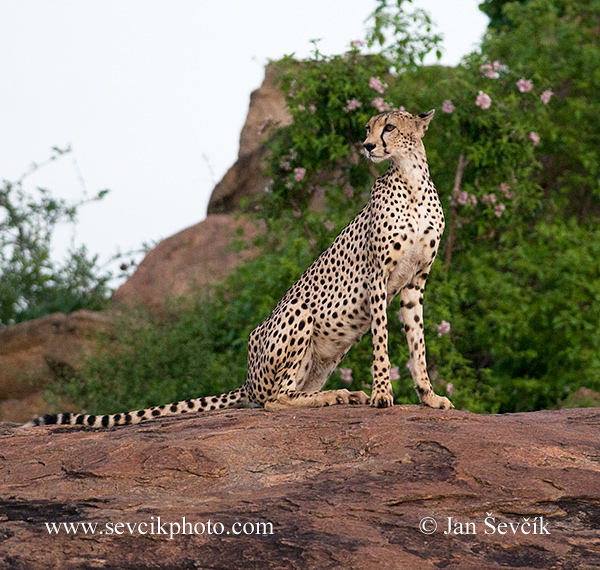 Photo of  gepard štíhlý Acinonyx jubatus Cheetah